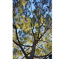 Gum Tree Photographic Print