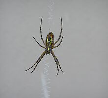 Common Garden Spider by sweetdesign