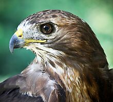 The Red Tail Hawk by ReneR