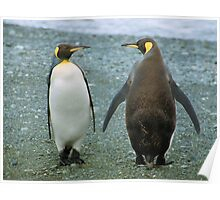 Conversation: King Penguins, Macquarie Island Poster