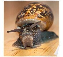 Helix aspersa - Garden Snail Poster