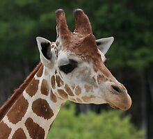 Giraffe by Mike Miller