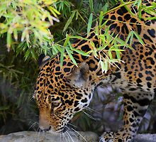 Jaguar in Bamboo by Mike Miller