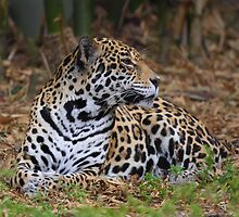 Jaguar - Movement Detected by Mike Miller