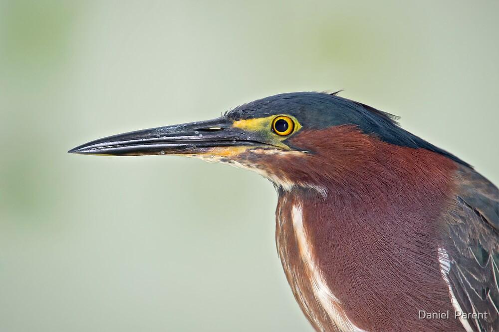 Green Heron Portrait  by Daniel  Parent