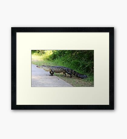 Gator Crossing Framed Print
