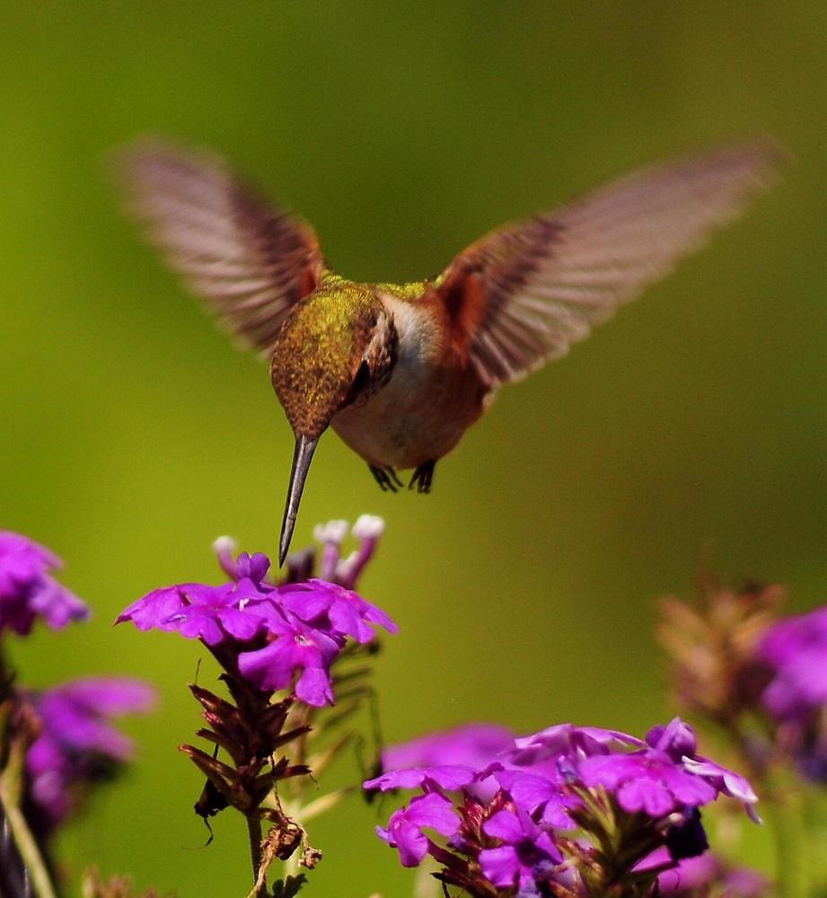 Hummmmmm---ing  for  Nectar..~ by RoseMarie747