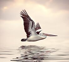 Pelican in flight, Perth , Western Australia by Marc Russo