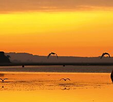 outta here. ibis, bunurong. by tim buckley | bodhiimages