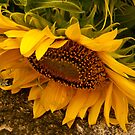 Sun flower on stone by browncardinal8