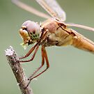 Dragonfly eating Grass by Paulette1021