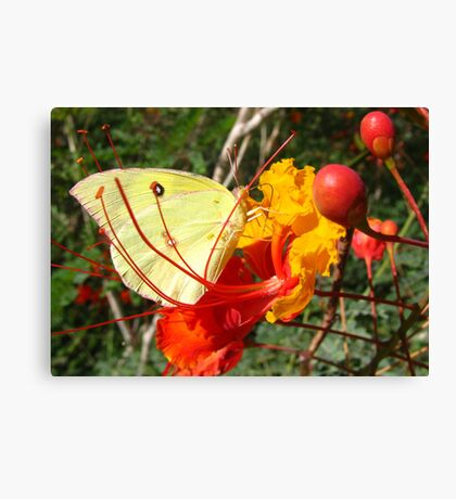 Butterfly~ Southern Dogface on Bird of Paradise Canvas Print
