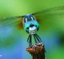 Dragonfly Stare by Mattie Bryant