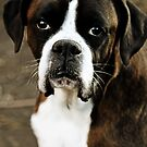 Arwen&#x27;s Portrait -Boxer Dogs Series- by Evita