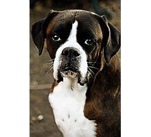 Arwen's Portrait -Boxer Dogs Series- Photographic Print