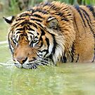 Sumantran Tiger At The Orana Wildlife Park. Christchurch, South Island, New Zealand. (3) by Ralph de Zilva