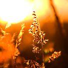 Sunset through the grass by Philip Alexander