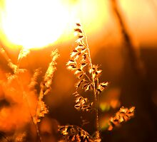 Sunset through the grass by Philip Alexander
