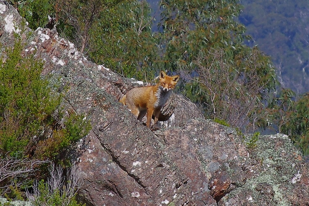 sly fox by francis  carter