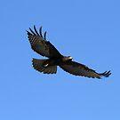 Dark Red Tail In Flight  by DARRIN ALDRIDGE