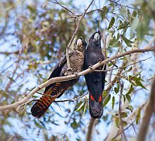 Red tail Black Cockatoo, Perth Western Australia by Marc Russo