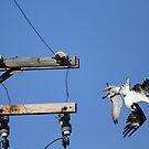 Peregrine Falcon and Osprey Fight in Flight by DARRIN ALDRIDGE
