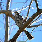 Juvenile Sharp Skinned Hawk by DARRIN ALDRIDGE