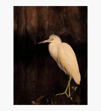 Heron of the Cypress Swamp Photographic Print