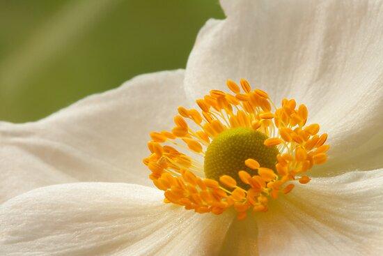 Anemonex hybrida 'Honorine Jobert' by Neil Clarke