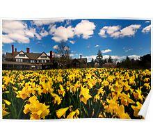Daffodils at Bayard Cutting Arboretum Poster