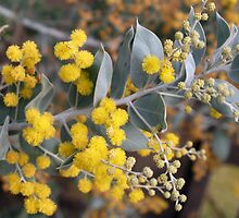 Wattle by Elisabeth Dubois
