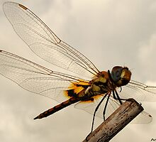 Dragon Fly by amar singh