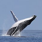 breaching whale by birdpics