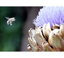 Pollen covered bee with artichoke flower Photographic Print