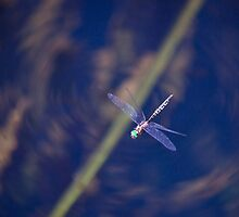 Dragon fly, in flight, Western Australia by Marc Russo