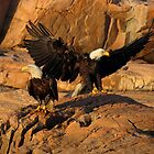 Bald Eagles  (Bar Harbor, Maine) by Rob Lavoie