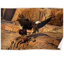 Bald Eagles  (Bar Harbor, Maine) Poster