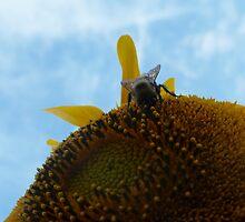 Walking On The Sun - Bee on Giant Sunflower by Muninn