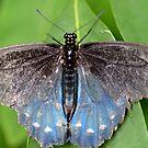 Blue butterfly by vasu