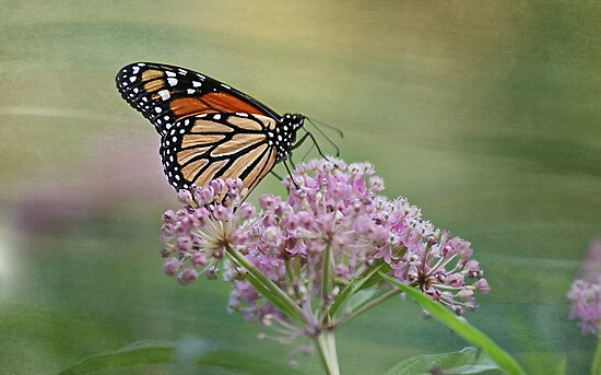 Monarch Butterfly by KatMagic Photography