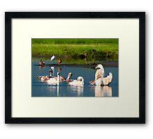 Swans dancing Framed Print