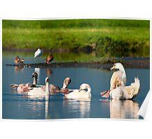 Swans dancing Poster