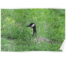 """Goose """"hiding"""" in the grass Poster"""