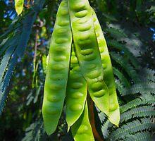 Mimosa Tree Pods North Carolina USA By Jonathan Green by Jonathan  Green