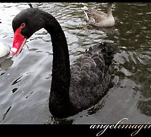 Black Beauty - A Black Swan by angelimagine