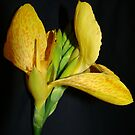 Canna Lily~ by Virginian Photography (Judy)