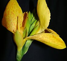 Canna Lily~ by virginian