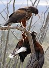 Harris's Hawks ~ Step down! by Kimberly Chadwick