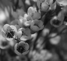 Spring flowers in black and white  by Margaret Stanton