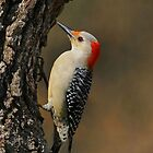 Red-bellied Woodpecker by photosbyjoe